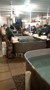 Ontario Steelheaders Rainbow Trout Sorting Hatchery 2016